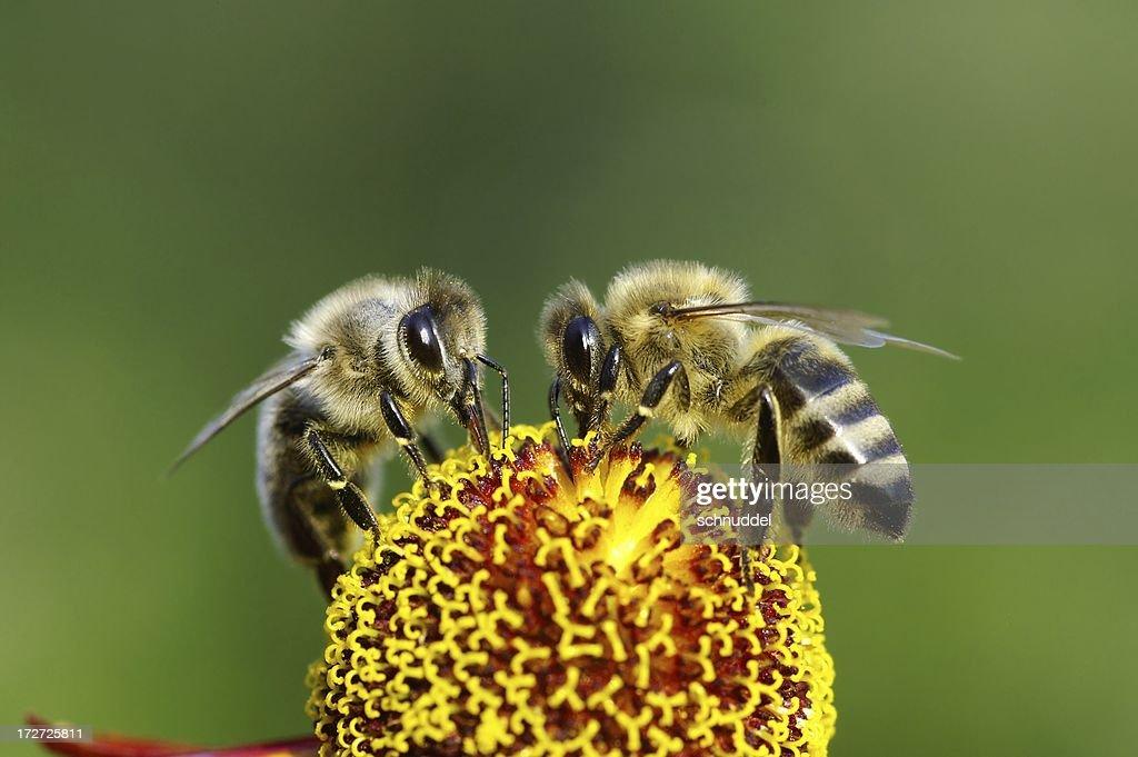 Dois abelhas em flor : Foto de stock