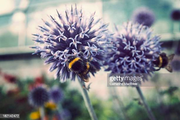 two bees on globe thistle - catherine macbride stock-fotos und bilder