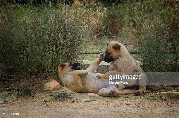 Two belgian shepherd puppies playing