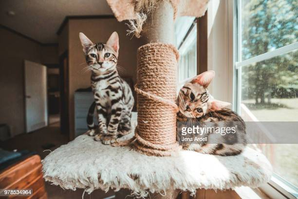 two bengal kittens looking at camera sitting on cat tree - bengal cat stock pictures, royalty-free photos & images