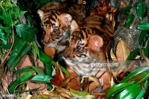 Two Bengal Tiger Cubs