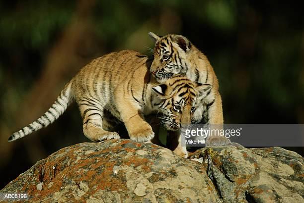 two bengal tiger cubs (panthera tigris tigris) playing - tiger cub stock photos and pictures