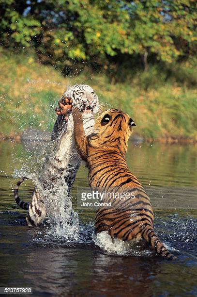 Two Bengal Tigers Playing in a River