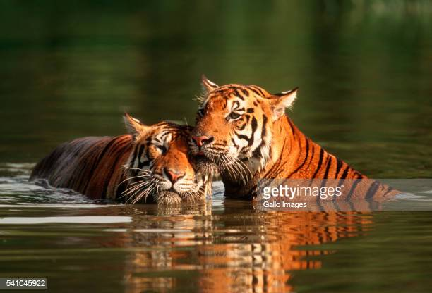 Two Bengal Tigers Swimming