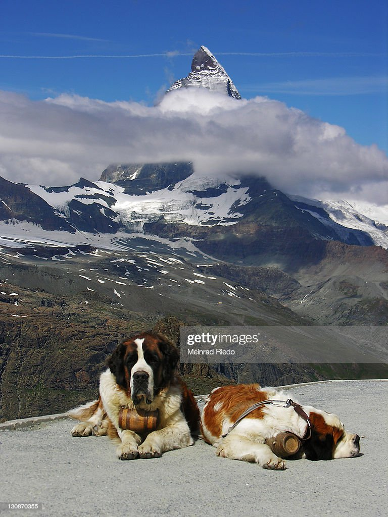 two bernhardine dogs on the Gornergrad near Zermatt. In the background the Matterhorn, Valais, Switzerland : Stock Photo