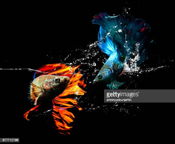two betta fish fighting in an aquarium - siamese fighting fish stock pictures, royalty-free photos & images