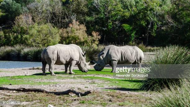 Two big rhinoceros on pasturage in safari park, Sigean, France
