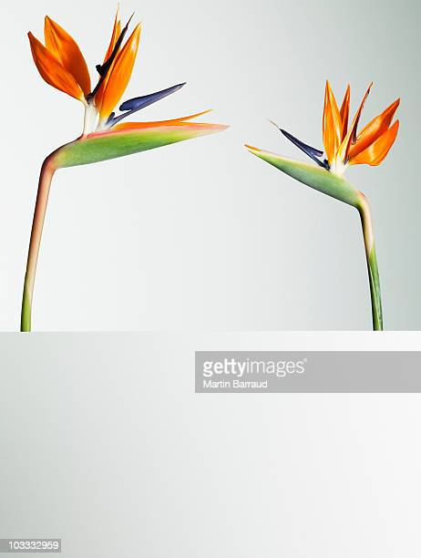 Two bird of paradise flowers face to face