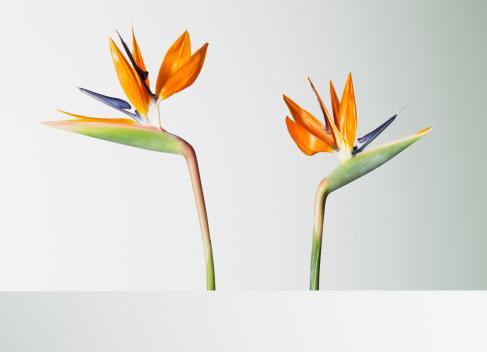 Two bird of paradise flowers turning away - gettyimageskorea
