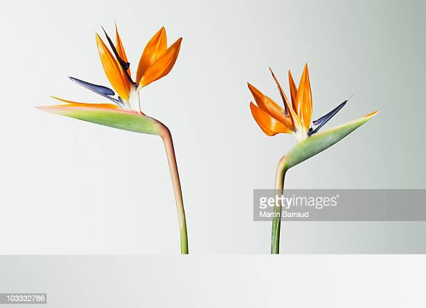 Two bird of paradise flowers turning away
