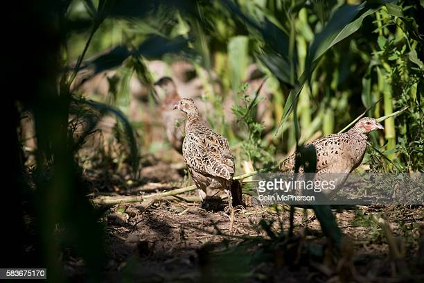 Two birds camouflaged by maize in an openair pen for pheasants at HyFly Hatcheries a company based in Preesall near Blackpool Lancashire which...