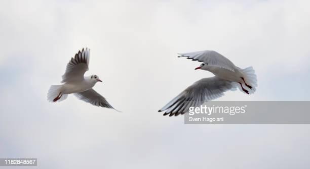 two birds flying - 翼を広げる ストックフォトと画像