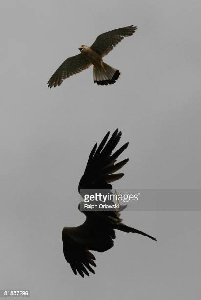 Two birds of prey a red kite and a kestrel fight in midair on July 8 2008 in Biblis near Darmstadt Germany