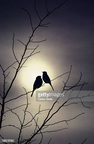 Two birds on bare tree at dusk