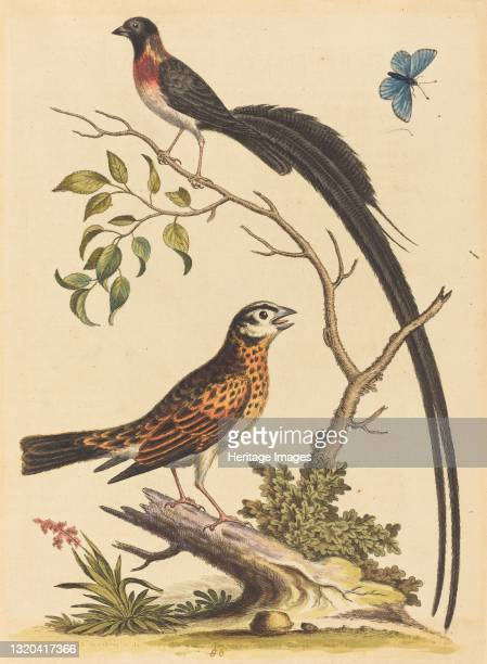 Two Birds, One with Very Long Tailfeathers, and Blue Butterfly, published 1745. Artist George Edwards.