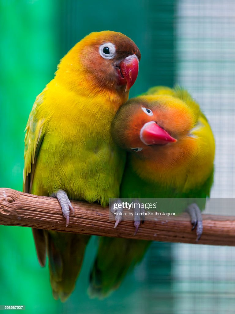 Two birds showing love : Stock Photo