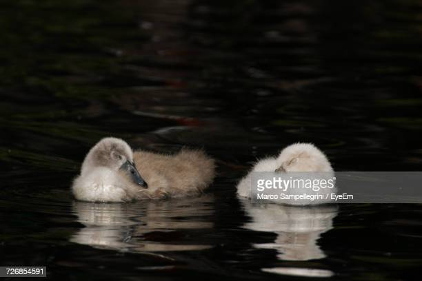 Two Birds Swimming In Lake
