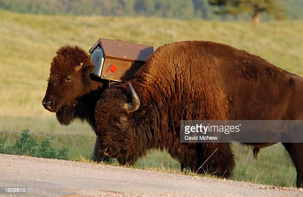 Two bison use a mailbox as a scratching post in Custer State Park August 13 2001 in the southern Black Hills of South Dakota Millions of bison were...