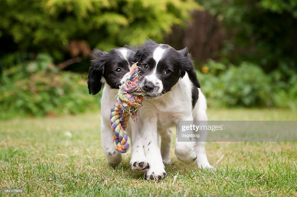 Two black and white puppies working as a team to carry rope : Stock Photo