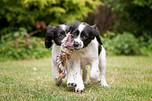 Two black and white puppies working as a team to carry rope