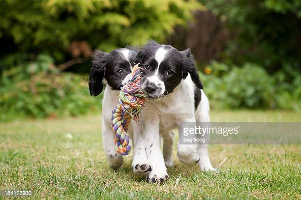 two black and white puppies working as a team to carry rope - spaniel stock photos and pictures