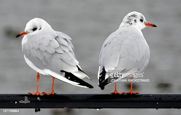 Two Black Headed Gull seagulls stand on a pole in Stockholm Sweden on December 6 2012 AFP PHOTO / JONATHAN NACKSTRAND