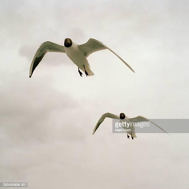 Two black headed gulls (Larus ridibundus) in flight, low angle view
