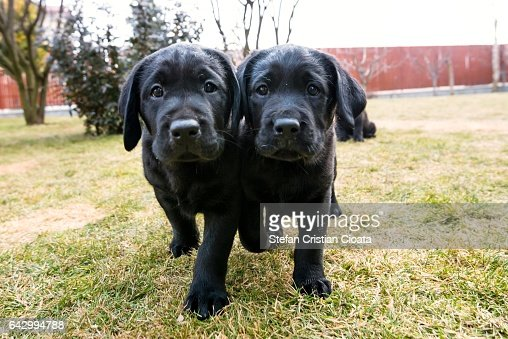 Image result for walking black labrador retrievers