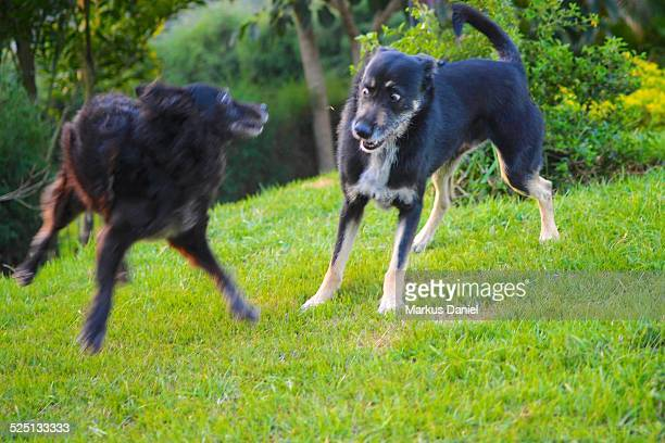 Two black mutt dogs playing in the grass