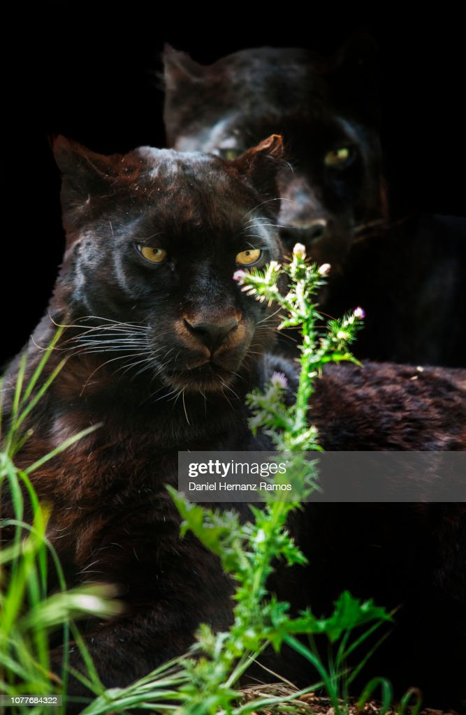 Two black panthers sitting rounded with vegetation and black background : Stock Photo