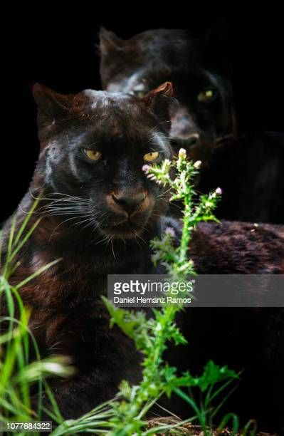Two black panthers sitting rounded with vegetation and black background