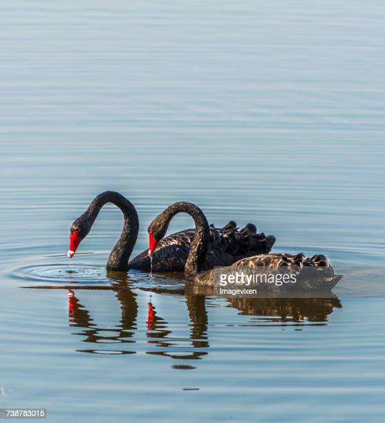 Two black swans in a lake, Australia