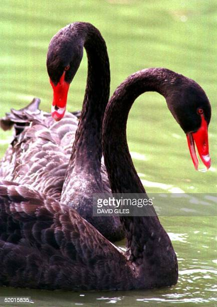 Two Black Swans swim in the waters of The Friars Priory Aylesford Kent 27 AugustThe swans natives of Australia have been a feature over the years to...