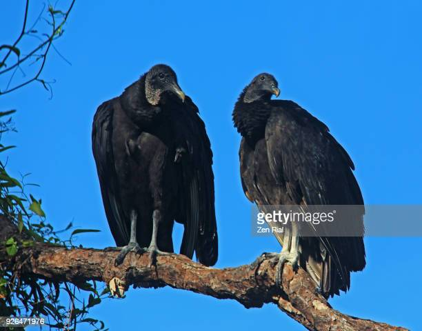 two black vulture, american black vulture, coragyps atratus perching on tree branch - ugly bird stock pictures, royalty-free photos & images