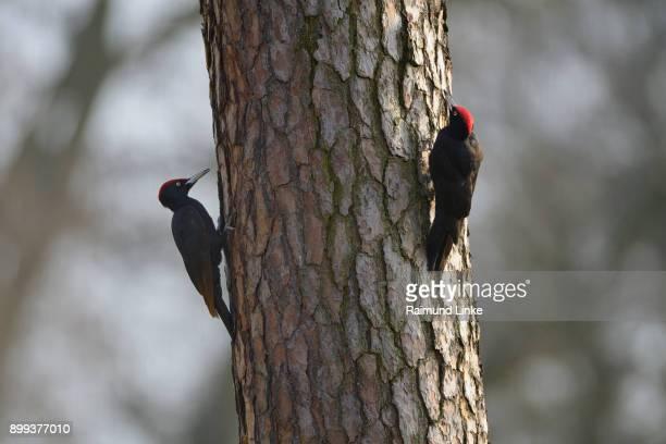 Two Black Woodpecker, Dryocopus martius, on Tree Trunk, Spring, Hanau, Hesse, Germany