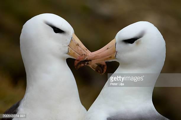 Two black-browed albatrosses (Diomedea melanophris) with mud on beaks