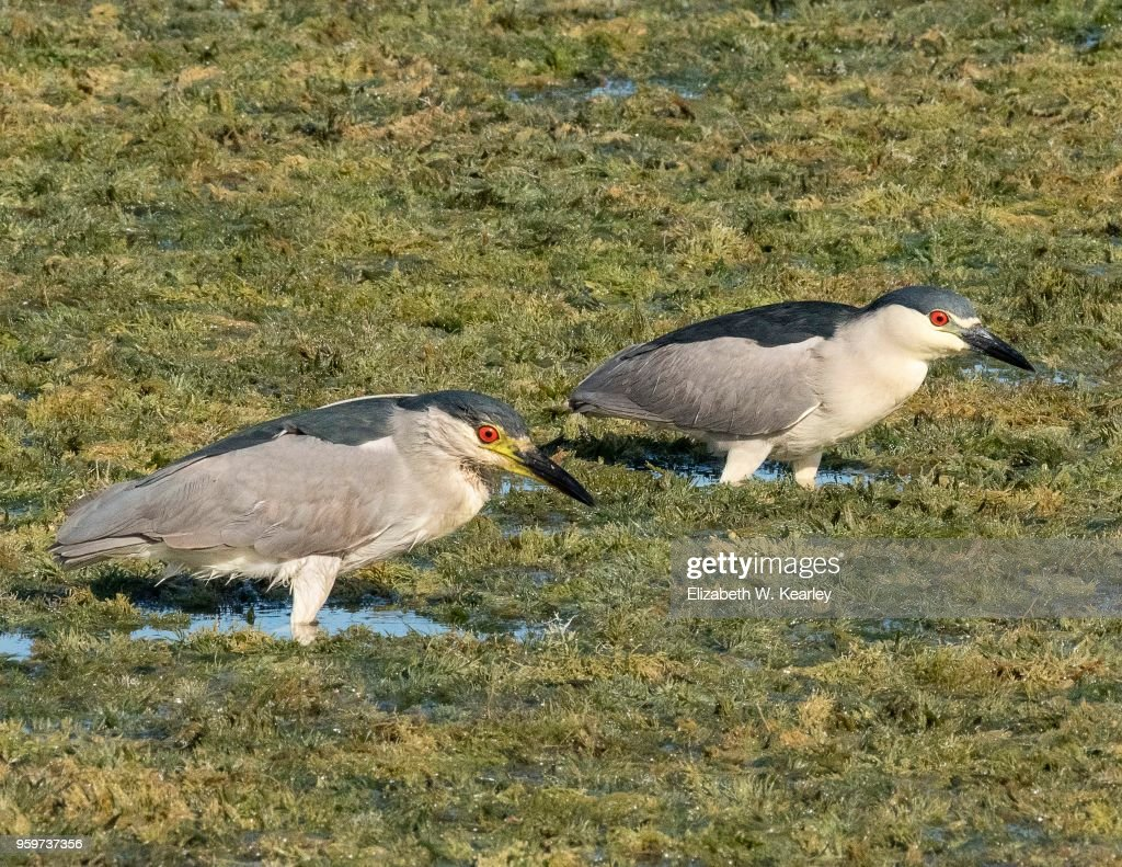 Two Black-Crowned Night Herons Wading : Stock-Foto