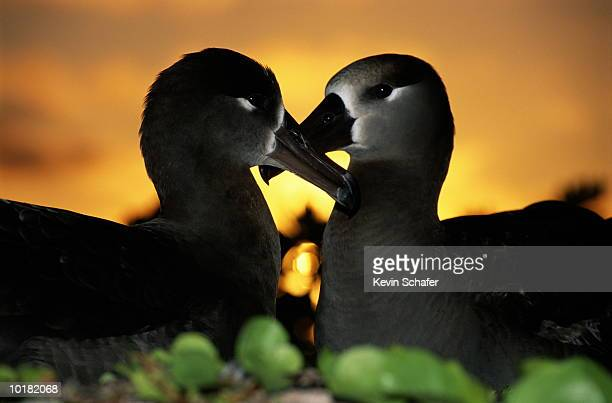 two black-footed albatross (phoebastria nigripes), side view - midway atoll stock pictures, royalty-free photos & images