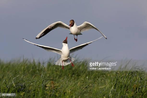 Two Black-headed Gulls -Chroicocephalus ridibundus, formerly Larus ridibundus-, East Frisian Islands, East Frisia, Lower Saxony, Germany