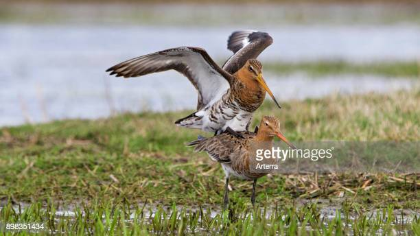 Two black-tailed godwits mating in wetland in spring.