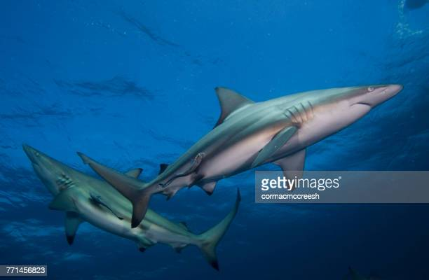 two blacktip sharks and suckerfish swimming in ocean, kwazulu-natal, south africa - kwazulu natal sharks stock photos and pictures