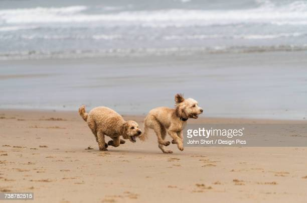 Two blond cockapoos running on a beach at the waters edge