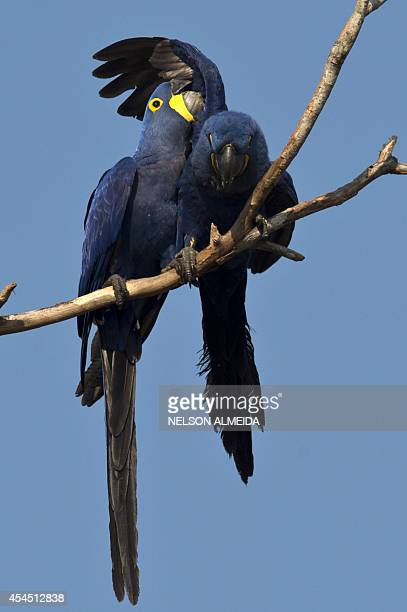 Two Blue Araras or Hyacinth Macaw rest on a tree in Caceres Brazil the gateway to the Pantanal on August 25 2014 Often referred to as the worlds...