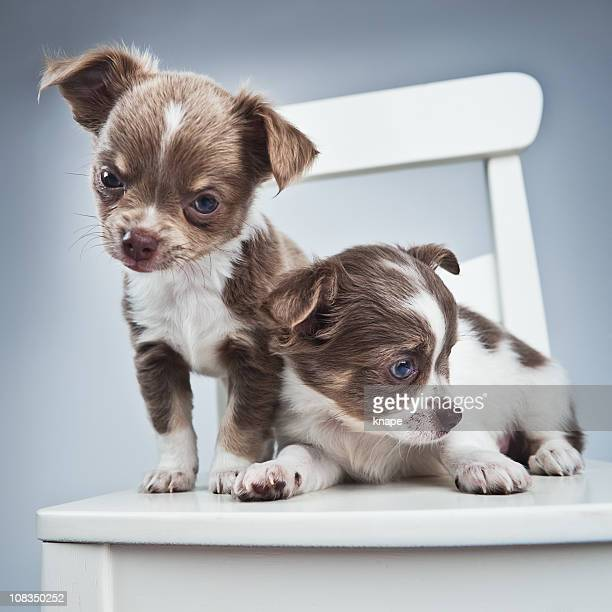 two blue chihuahua puppies - long haired chihuahua stock photos and pictures