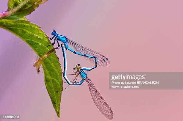 two blue dragonflies forming heart on leaf - brancaleoni imagens e fotografias de stock