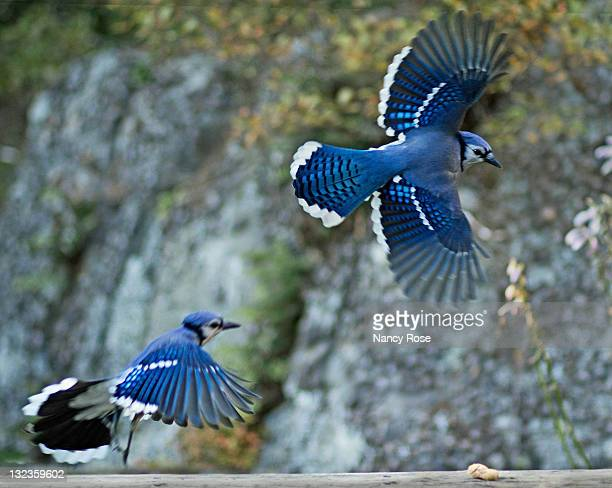 two blue jays in flight hovering around last peanu - bedford nova scotia stock pictures, royalty-free photos & images