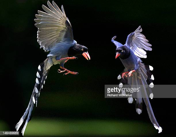 Two blue magpies