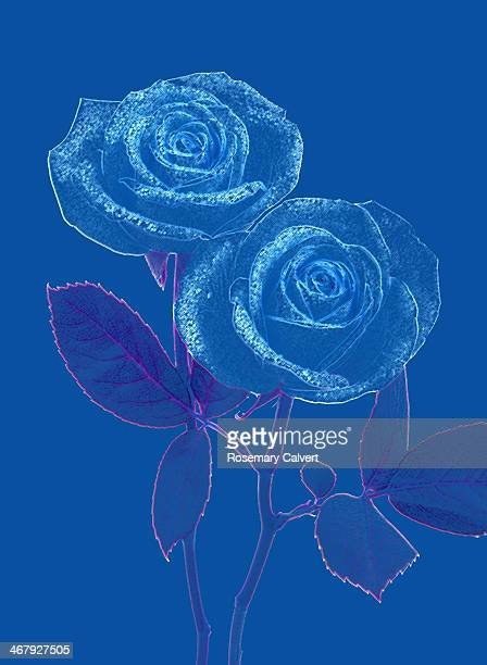 Two blue roses on blue