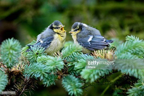 Two Blue tit fledglings chirping in tree