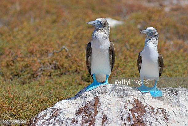 Two Blue-footed Boobies (Sula nebouxii) on a rock, close-up